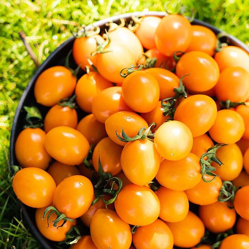 【顺丰包邮】金玲珑小番茄 樱桃番茄5斤装
